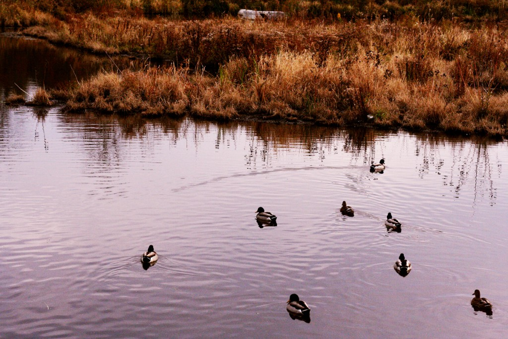 preserve-ducks-resized